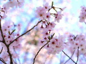 桜の花をスマホできれいに撮るコツ