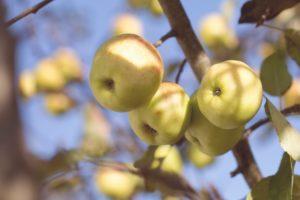 フルーツ梅酒の梅